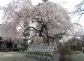宝幢寺・しだれ桜