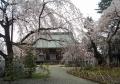 桜越しに見る宝幢寺本堂