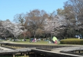 山崎公園の花見風景