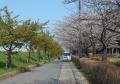 河津桜(左)・ソメイヨシノ(右)