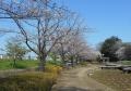 山崎公園のソメイヨシノ