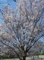 マメザクラ(桜園)