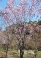 陽光桜(桜園)