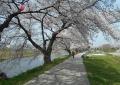 川沿い(新河岸川)の桜並木①