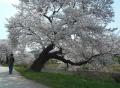 川沿い(新河岸川)の桜並木②