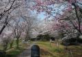 多種の桜が植えられたゾーン