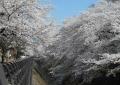 桜の雪崩?