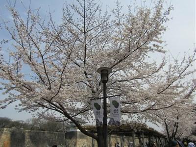 s-2018年大阪城桜④