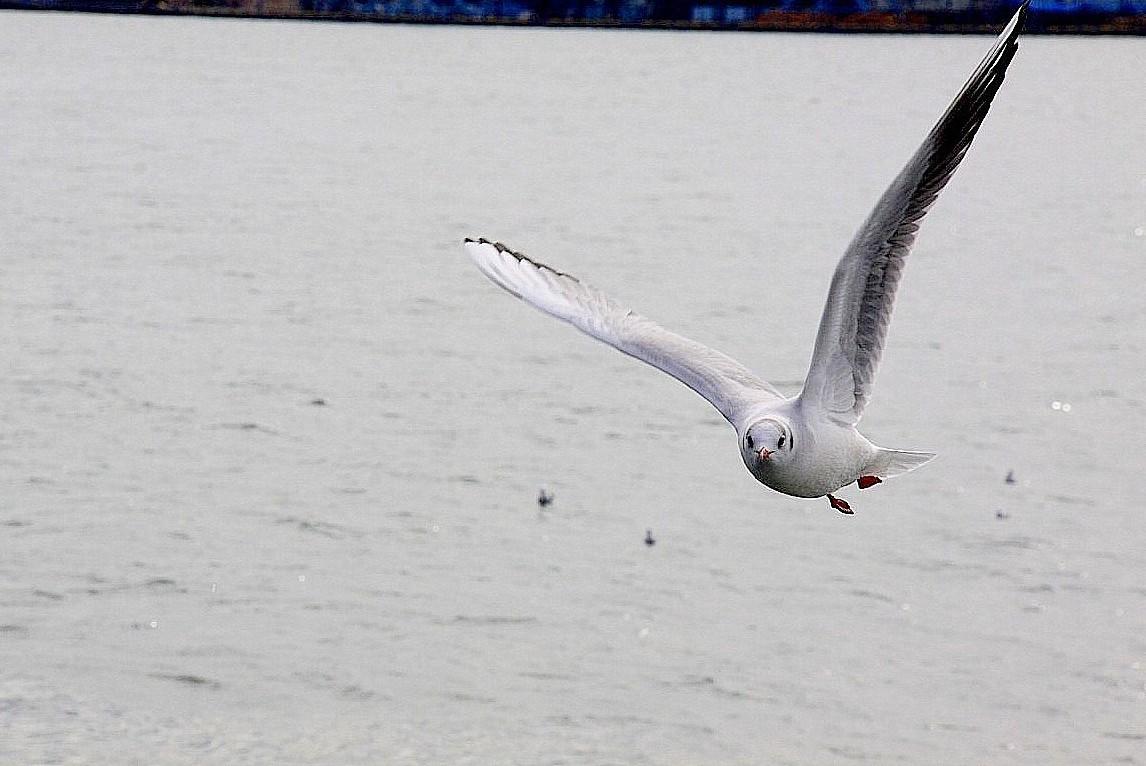 IMG_5633カモメの飛翔