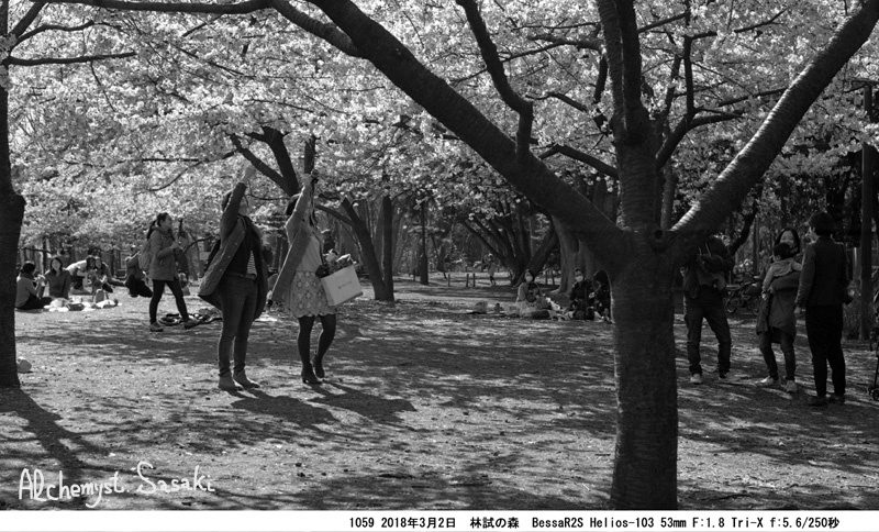 早咲桜1059-39