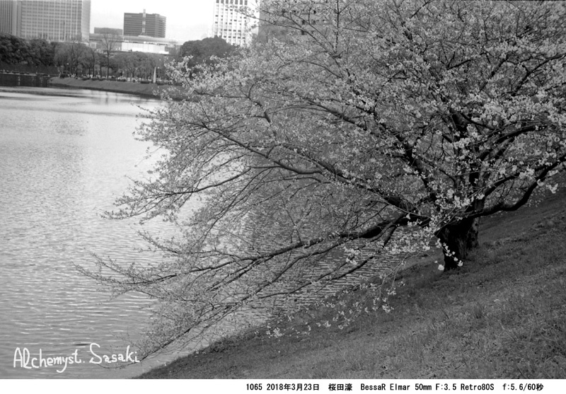 お堀の櫻1065-33