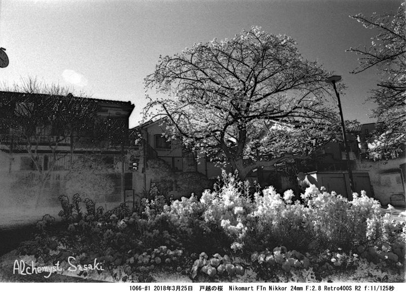 戸越の桜1066-#1-21