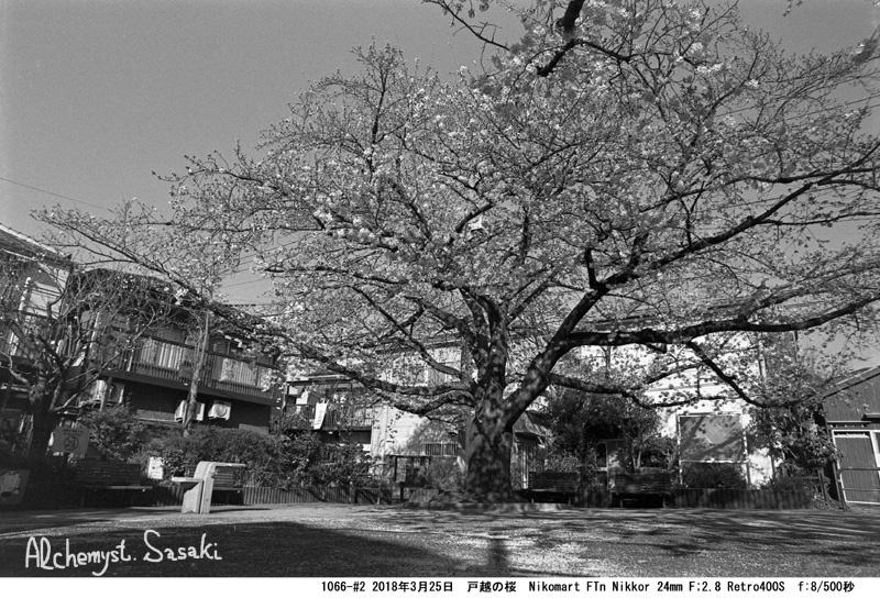 戸越の桜1066-#2-1
