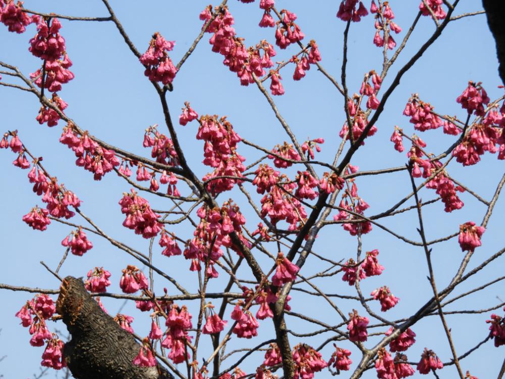 桜DSCN7423