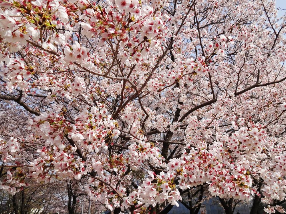 桜DSC00822