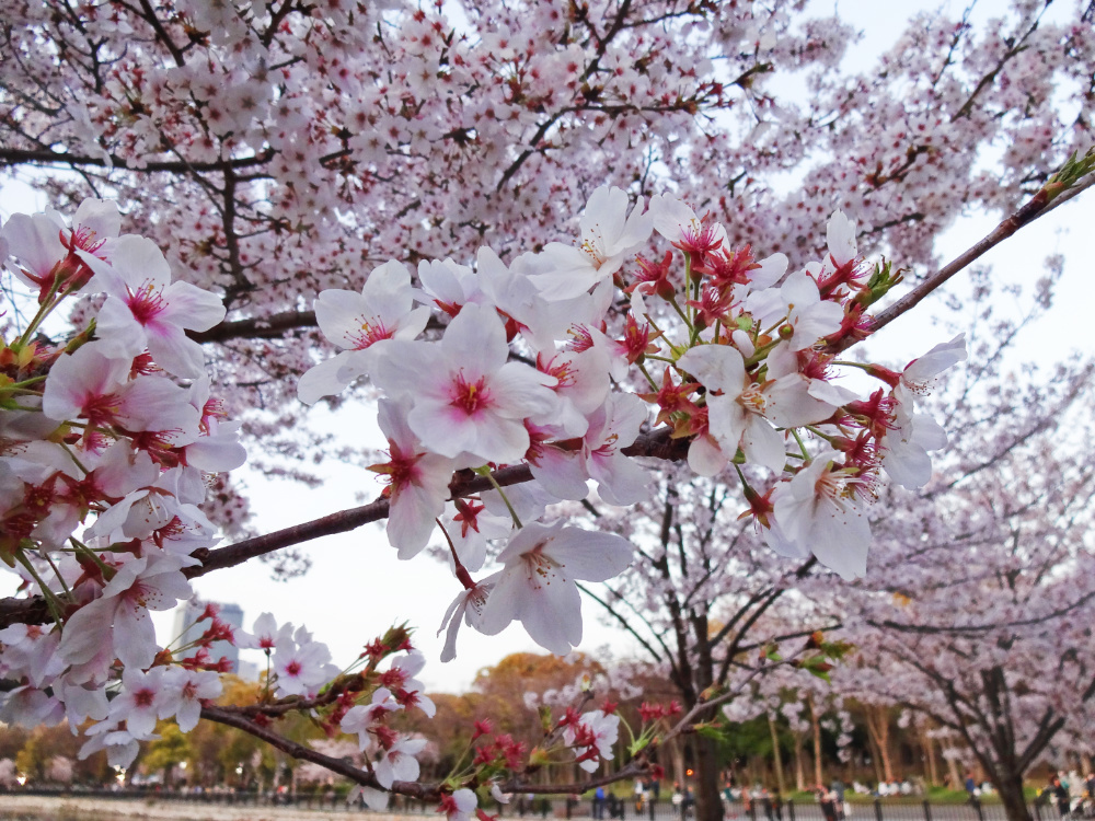 桜DSC00805