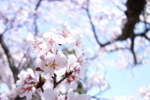 sakurasakura02.jpg