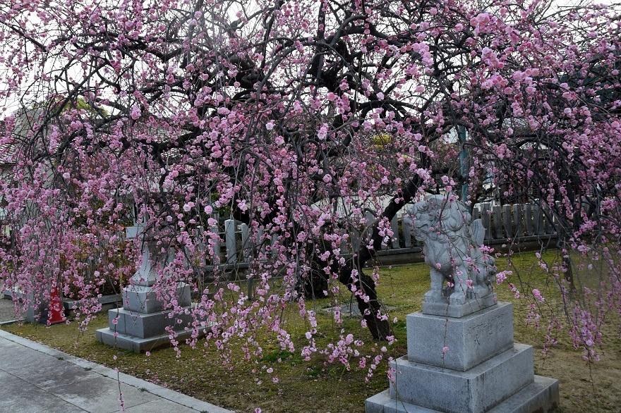 屯倉神社・梅 (1)