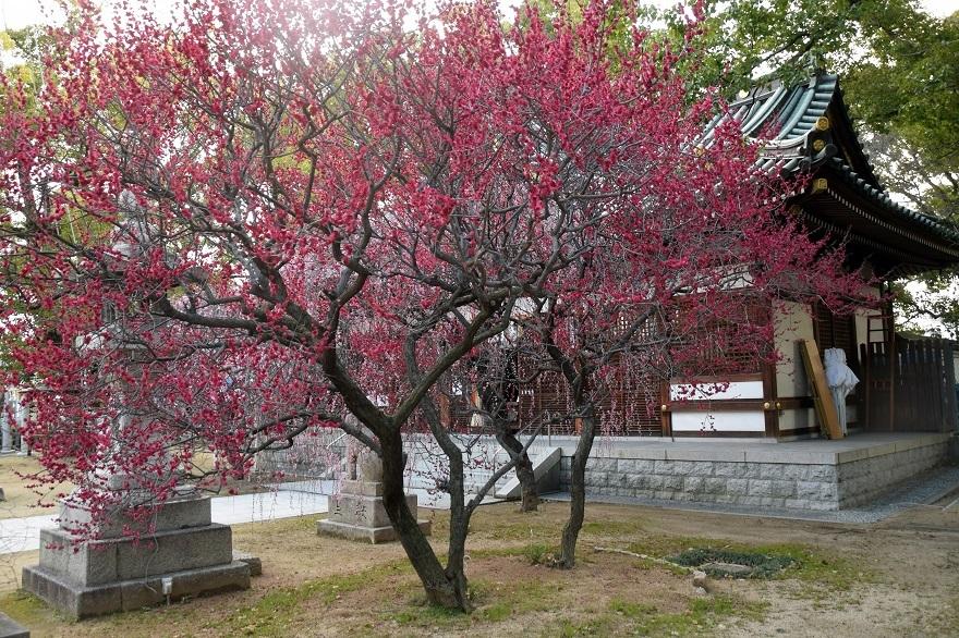 屯倉神社・梅 (3)
