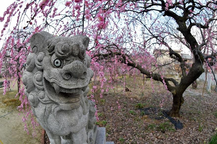 屯倉神社・梅 (4)