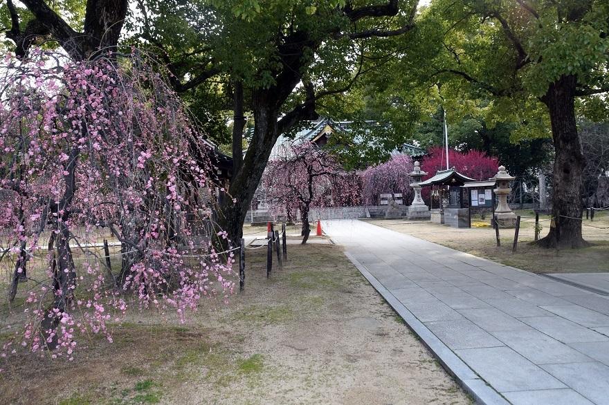 屯倉神社・梅 (6)