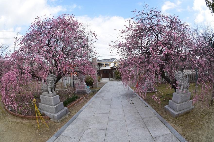 屯倉神社・梅 (7)