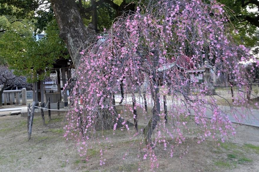 屯倉神社・梅 (09)