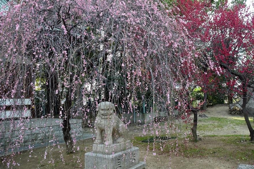 屯倉神社・梅 (12)