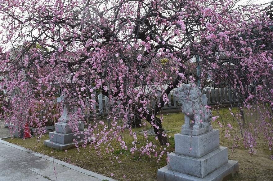 屯倉神社・梅 (14)