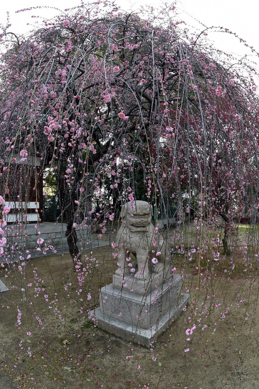 屯倉神社・梅 (15)