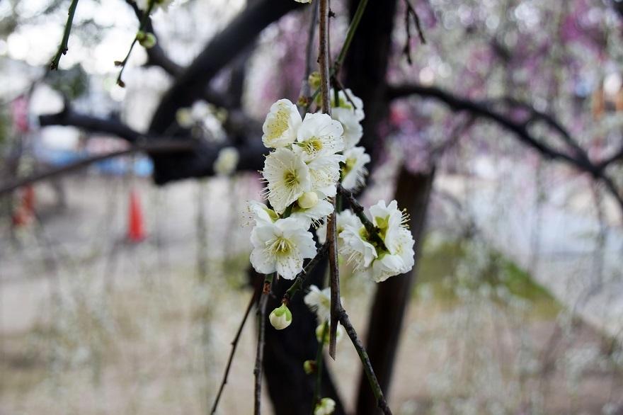 屯倉神社・梅 (16)