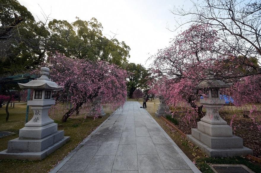 屯倉神社・梅 (19)