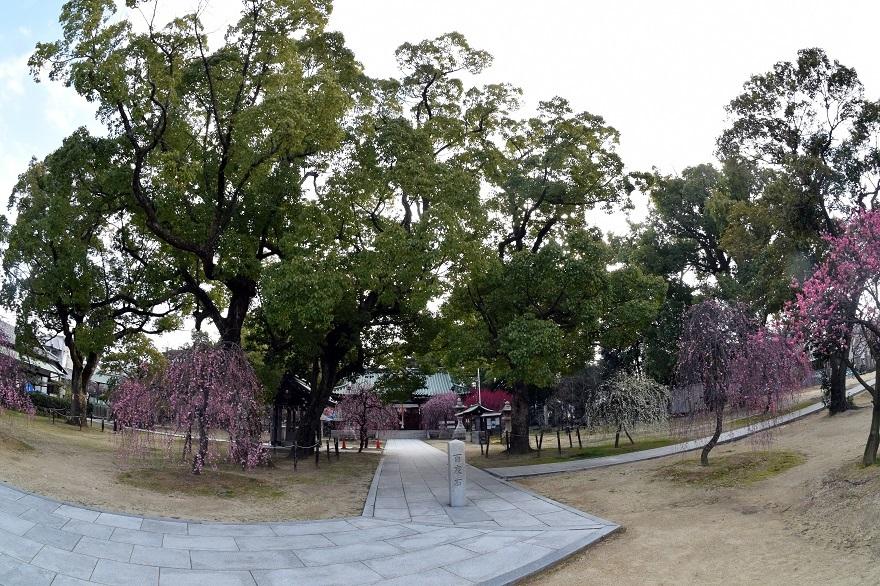 屯倉神社・梅 (18)