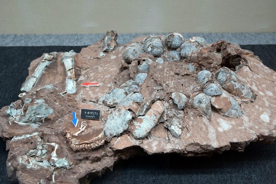 恐竜の卵展 (18)
