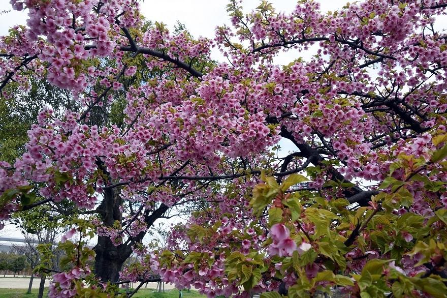 長居・早咲き桜 (2)