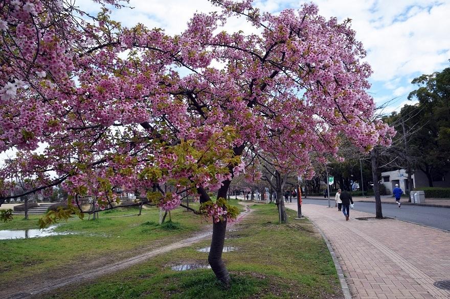 長居・早咲き桜 (1)