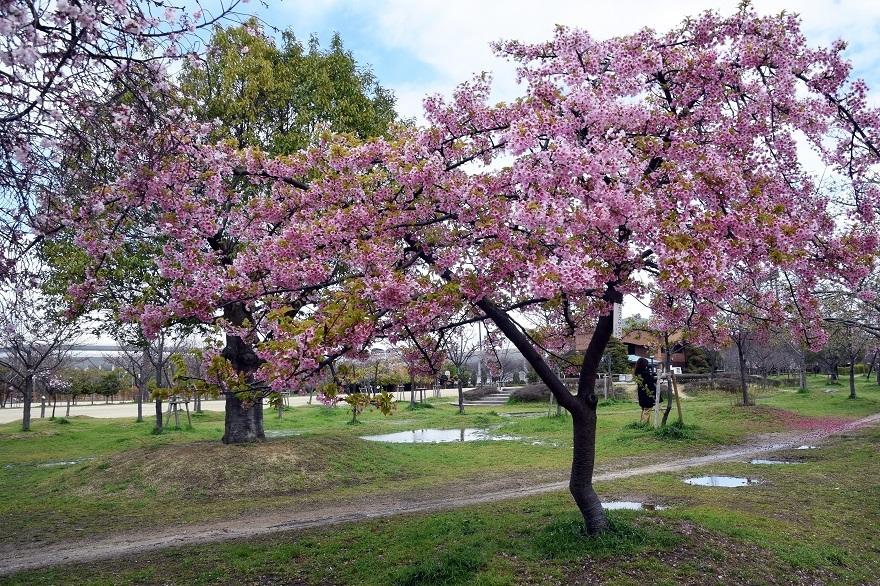 長居・早咲き桜 (0)