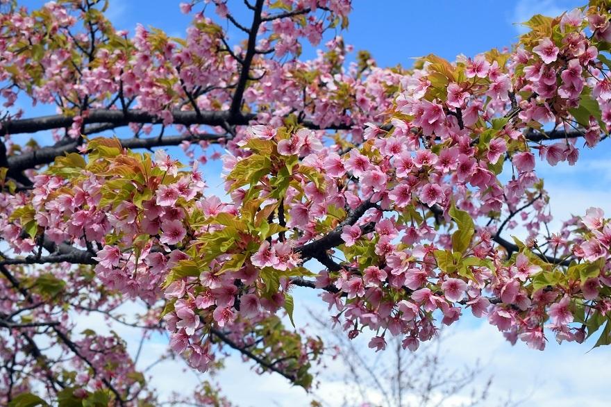 長居・早咲き桜 (3)