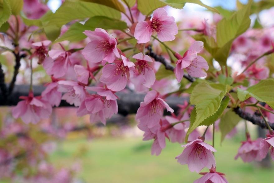 長居・早咲き桜 (4)