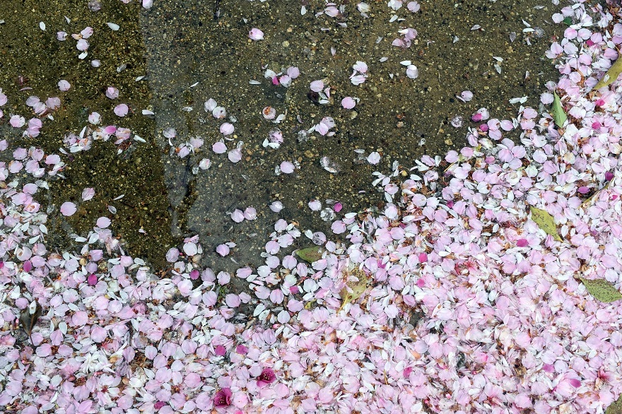 長居・早咲き桜 (5)