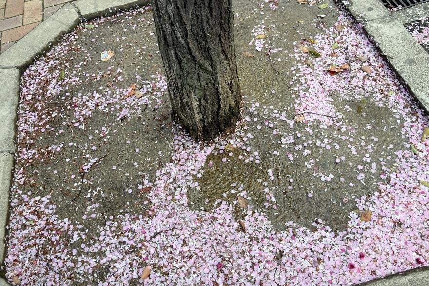 長居・早咲き桜 (06)