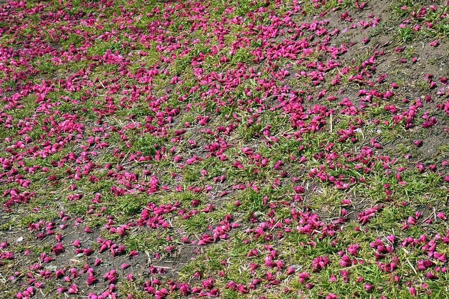 長居・早咲き桜 (7)