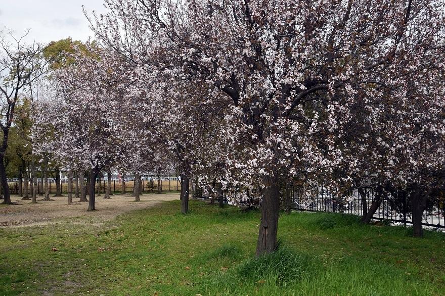 長居・早咲き桜 (8)