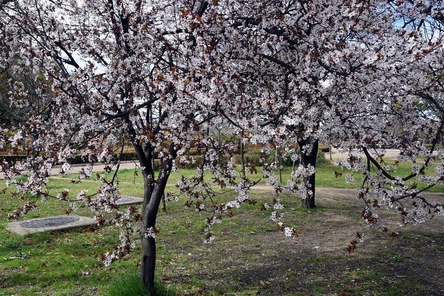 長居・早咲き桜 (9)