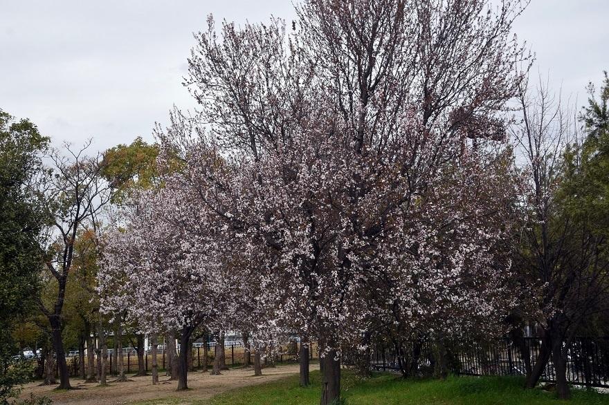 長居・早咲き桜 (10)