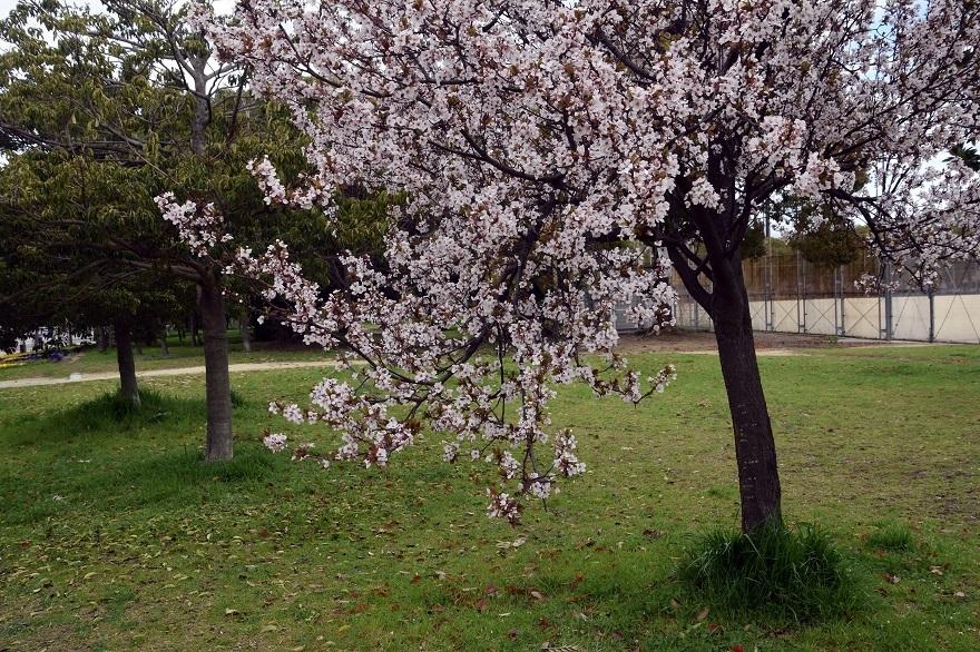 長居・早咲き桜 (11)