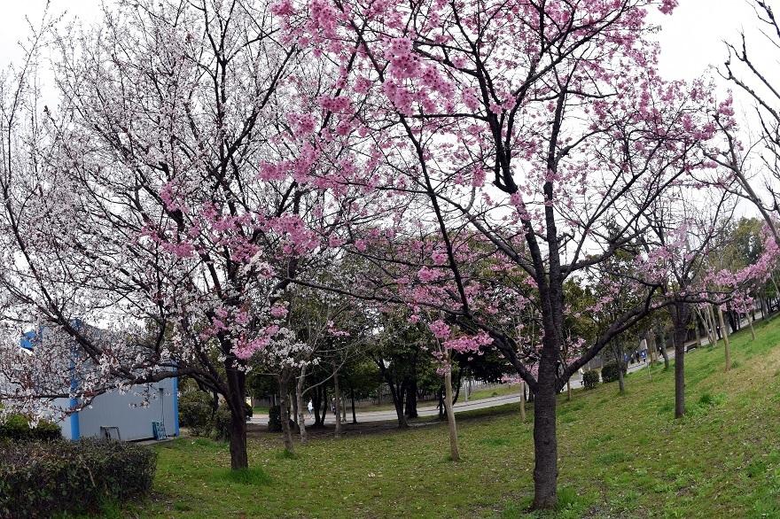 長居・早咲き桜 (14)