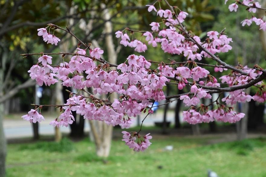 長居・早咲き桜 (15)
