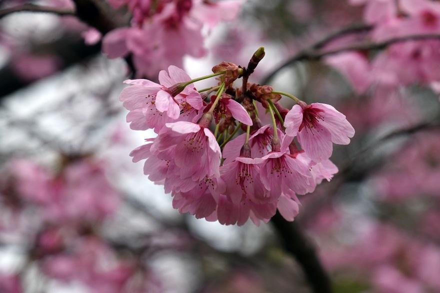 長居・早咲き桜 (17)