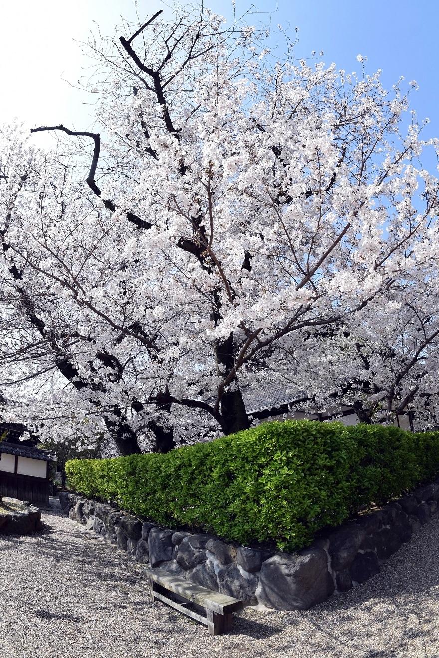大念仏寺・桜 (1)